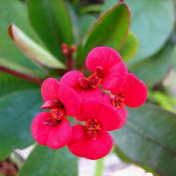 SLJ08 Euphorbia milii  Crown of Thorns Kate/Sydney