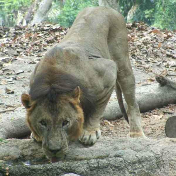 lion at Singapore zoo