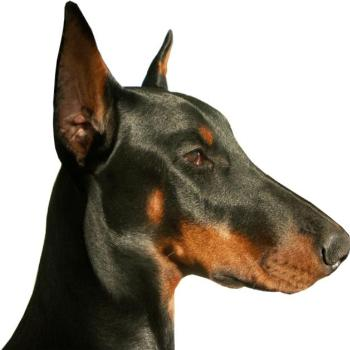 dobermanklub.net