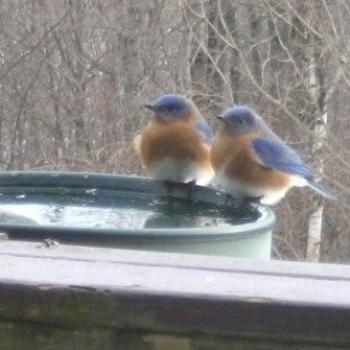 bluebirds in Vermont in the winter!!