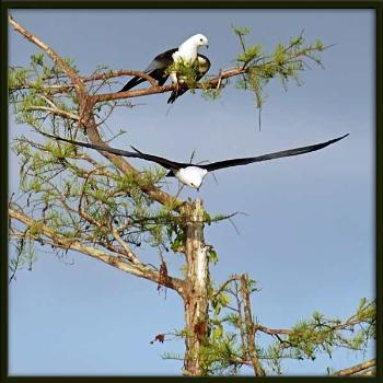 Everglades National Park is the largest subtropical wilderness in the United States. It has been designated an International Biosphere Reserve, a World Heritage Site, and a Wetland of International Importance. This pair of swallow-tailed kites nest in the area.