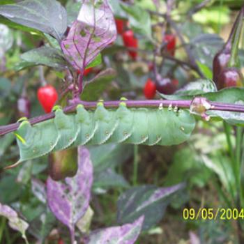 This is a tobacco hornworm I found in my pepper garden in Fairfield, Ohio, USA