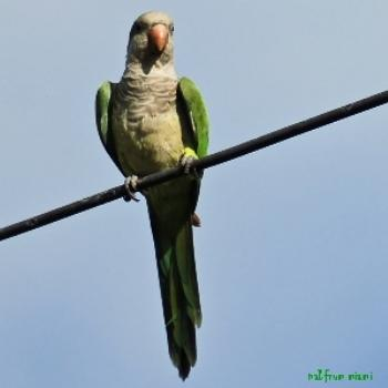 One of the many quaker parakeets that visit my feeders