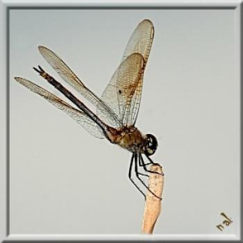 Sometimes all I have are dragonflies. Everglades National Park, Fl.