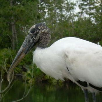 American Wood Stork- Jim from Jupiter