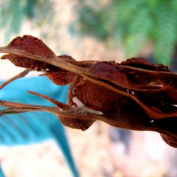 last year's wattleseed pods