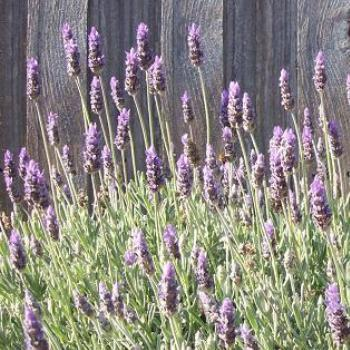 lavender and fence: dino/Sth Gippsland