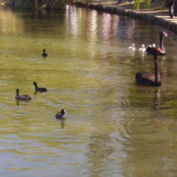 Swans, cygnets & ducks, Lake Burley Griffin / joann
