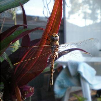 Dragonfly in my garden Colleen Kelmscott