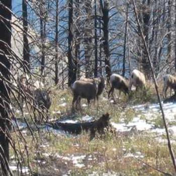 Big Horn Sheep herd - vici ca