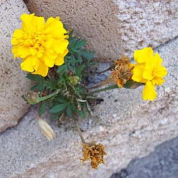 Marigold and bricks/ dino