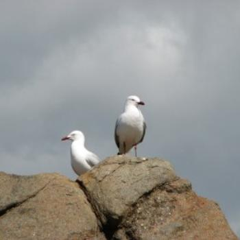 Seagulls, Dunsborough, West Australia