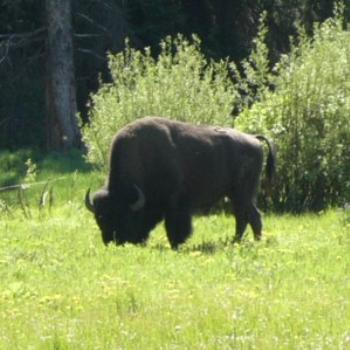 Bison at Yellowstone -- too close for comfort!