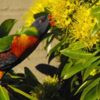 Rainbow Lorikeet enjoying nectar Brisbane.