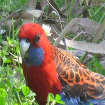 Friendly Crimson Rosella (Grampians '09/LankyYank)