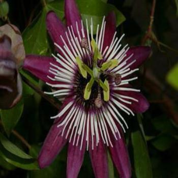 Passionflower, Wendy/Perth