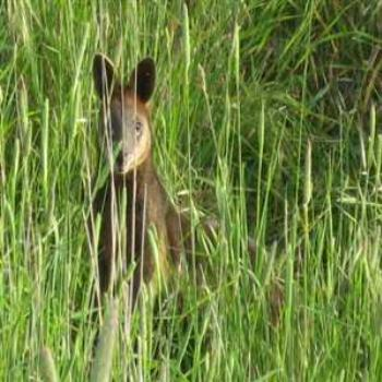 Wallaby in the grass (Phillip Island '09/LankyYank)