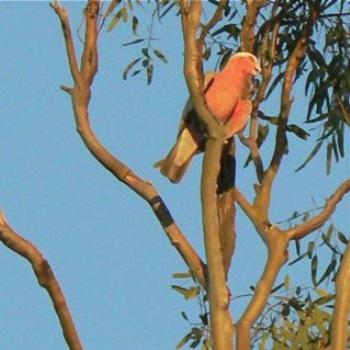 Galah at Sunset Ian/Sydney