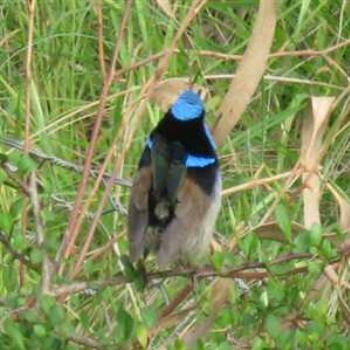 Blue Wren shakin' his tail feathers at us (Phillip Island '09/LankyYank)