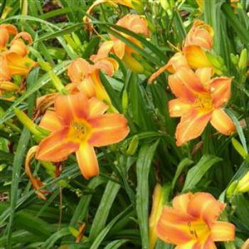 Day lilies in my garden - Wendy/Perth