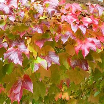 Autumn Colours - Boston Ivy