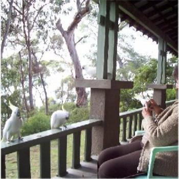 Cockatoos at Lorne