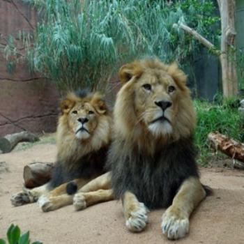 Lions at Taronga Zoo Sydney