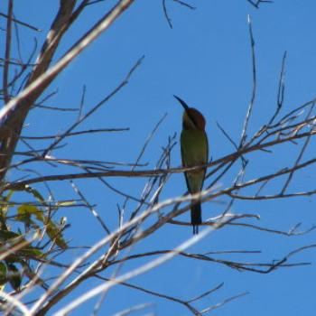 Rainbow bee eater, Wendy/Perth