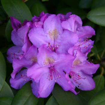 Rhododendron in my yard