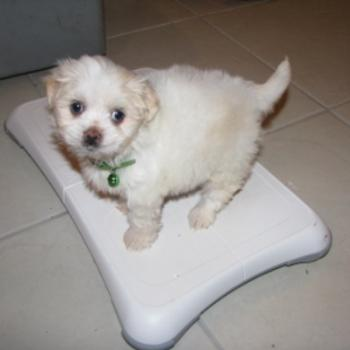 Suki at 7 weeks - on Wii/BJ from Oz