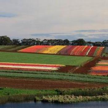 Patchwork, Tulip farm