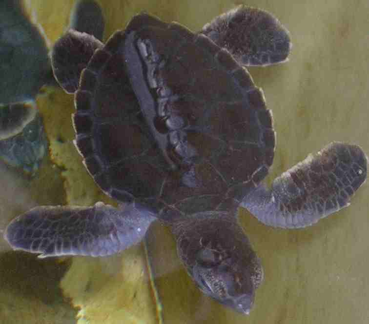 Four day old green sea turtle hatchling, at Marinelife Center in Florida.