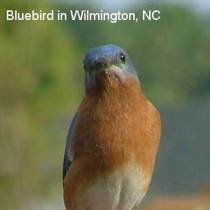 Bluebird in our back yard
