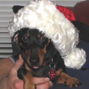 Here is our doxie at Christmas...