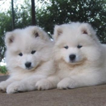 Two Samoyed Puppies That I bred