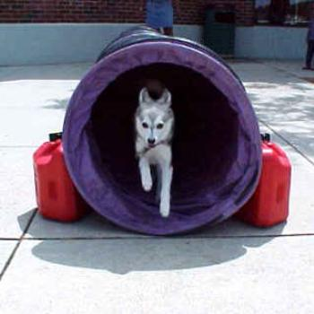 Kassi my Alaskan Klee Kai in agility tunnel